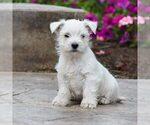 Puppy 3 West Highland White Terrier