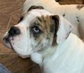 Olde English Bulldogge Puppy For Sale in ONEIDA, Illinois,