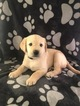 Labrador Retriever Puppy For Sale in FRUITLAND PARK, FL, USA