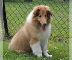Collie Puppy For Sale in CUMBERLAND, MD, USA