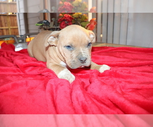 American Bulldog-American Staffordshire Terrier Mix Puppy for Sale in BROOKSHIRE, Texas USA