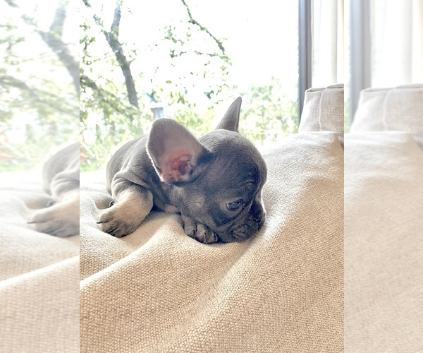 Medium Photo #3 French Bulldog Puppy For Sale in BERWYN, IL, USA