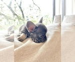 Small Photo #3 French Bulldog Puppy For Sale in BERWYN, IL, USA