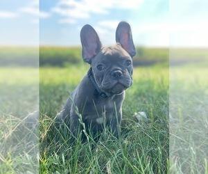 French Bulldog Dog for Adoption in METUCHEN, New Jersey USA