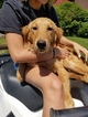 Golden Retriever Puppy For Sale in RAVENNA, OH, USA