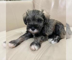 Schnauzer (Miniature) Puppy for sale in HIALEAH, FL, USA