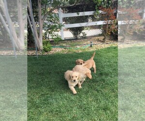 Golden Retriever Puppy for Sale in VALLEY CENTER, California USA