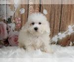 Puppy 11 Maltipoo