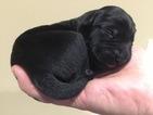 Labrador Retriever Puppy For Sale in ASHLAND, MO