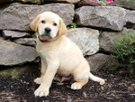 Puppy 3 Labrador Retriever-Unknown Mix