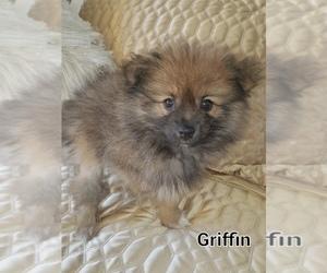 Pomeranian Dogs for adoption in RICHMOND, MI, USA