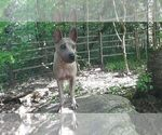Small Photo #2 Thai Ridgeback Puppy For Sale in Owen Sound, Ontario, Canada