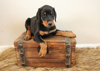 Doberman Pinscher Puppy For Sale in LOVELAND, Colorado,