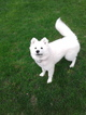 Samoyed Puppy For Sale in CLIFTON PARK, NY