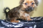 Shorkie Tzu Puppy For Sale in PATERSON, NJ