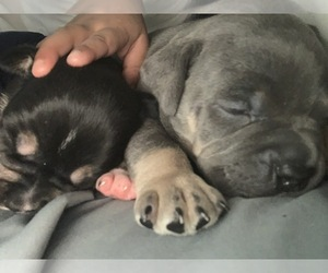 American Pit Bull Terrier Puppy for sale in ERIE, PA, USA