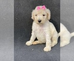 Small Photo #1 Goldendoodle-Poodle (Standard) Mix Puppy For Sale in HANFORD, CA, USA