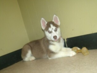Siberian Husky Puppy for sale in PATERSON, NJ, USA
