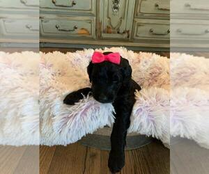 Aussie-Poo-Aussiedoodle Mix Puppy for sale in CLIMAX, NC, USA