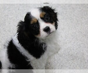 Cavalier King Charles Spaniel Puppy for sale in KOKOMO, IN, USA
