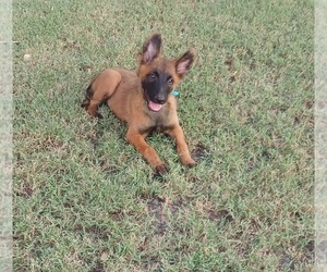 Belgian Malinois Puppy for sale in EL CENTRO, CA, USA