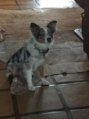 Miniature Australian Shepherd Puppy For Sale in CLEBURNE, TX, USA