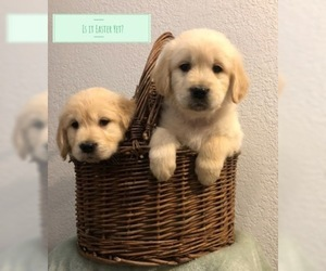 Golden Retriever Puppy for Sale in PRYOR, Oklahoma USA