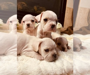 Bulldog Puppy for sale in SAN DIEGO, CA, USA