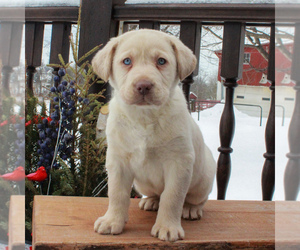 Labrador Retriever Dog for Adoption in MYERSTOWN, Pennsylvania USA