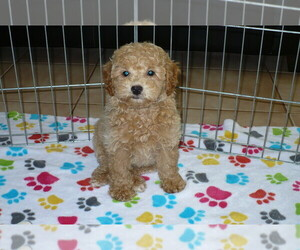 Poodle (Miniature) Puppy for sale in ORO VALLEY, AZ, USA