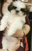Shih Tzu Puppy For Sale in BURNSVILLE, MN
