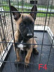 Belgian Malinois Puppy For Sale in RIVERSIDE, CA, USA