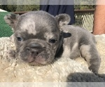 Small #40 French Bulldog