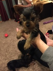 Yorkshire Terrier Puppy For Sale in MARTINTON, IL
