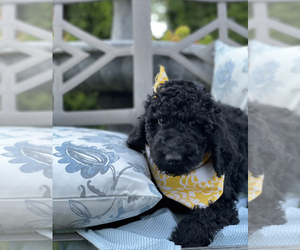Poodle (Standard)-Pyredoodle Mix Puppy for sale in ACAMPO, CA, USA