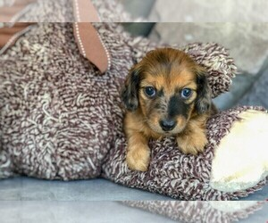 Dachshund Puppy for sale in AMITY, NC, USA