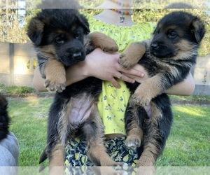 German Shepherd Dog Puppy for sale in SPANAWAY, WA, USA