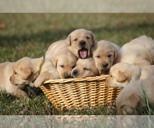 Golden Labrador Puppy for sale in FRONT ROYAL, VA, USA