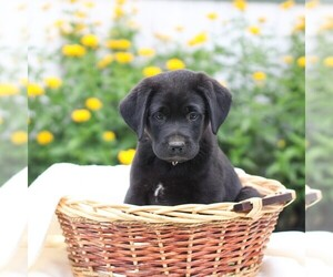Labrador Retriever Puppy for sale in CHAMBERSBURG, PA, USA