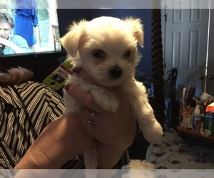 Maltese Puppy for Sale in BRKN ARW, Oklahoma USA