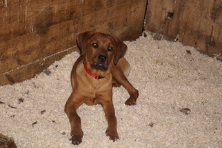 Boerboel-Rottweiler Mix Puppy for sale in FREDERICKSBURG, OH, USA
