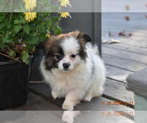 Pom-Shi Dog for Adoption in DINWIDDIE, Virginia USA