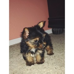 Yorkshire Terrier Puppy For Sale in LITTLETON, CO, USA