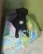 Boxer Puppy For Sale in PALMETTO, FL, USA