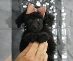 Puppy 8 Poodle (Toy)