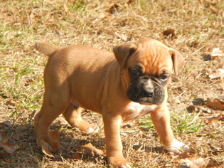 Boxer Puppy For Sale in BEECH ISLAND, SC, USA
