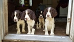 English Springer Spaniel Puppy For Sale in BELL, FL, USA