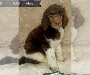 Poodle (Standard) Puppy for sale in SEAMAN, OH, USA