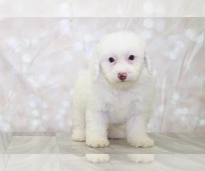 Poodle (Miniature) Dog for Adoption in MARIETTA, Georgia USA