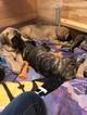 Mastiff Puppy For Sale in WINONA, MN, USA